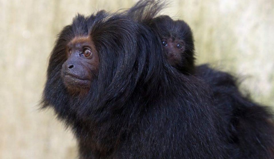 Ajude o Zoológico a escolher os nomes dos filhotes de mico-leão-preto
