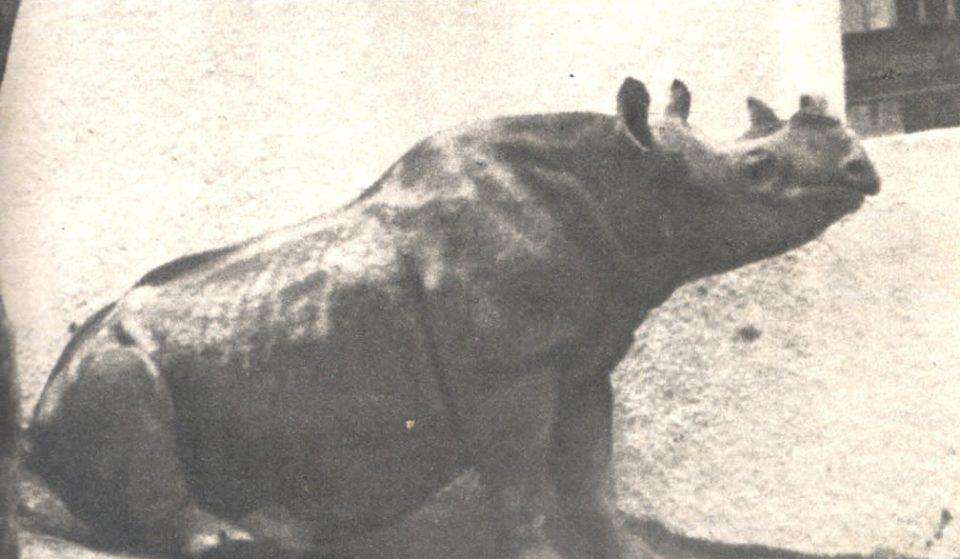 """Sabia dessa? Rinoceronte foi """"eleita"""" vereadora de São Paulo em 1959"""