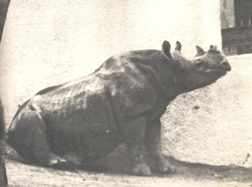 rinoceronte vereadora sao paulo