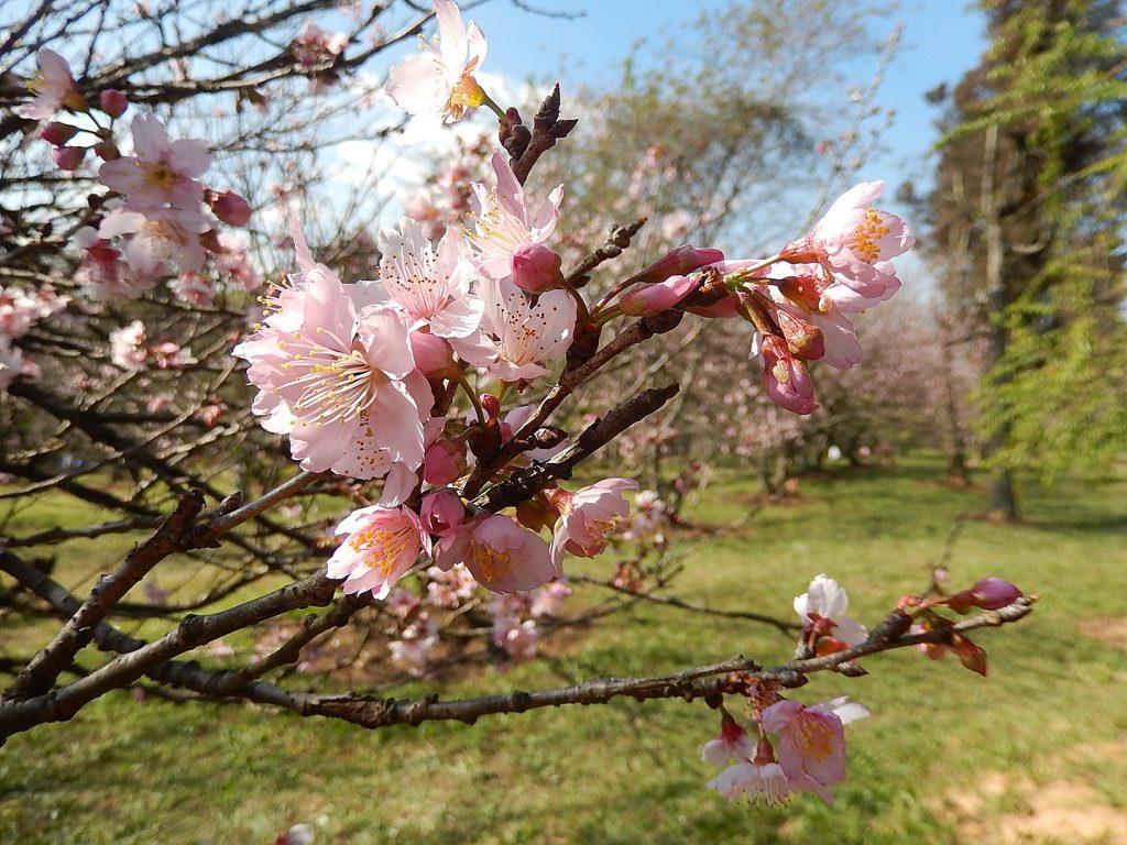 cerejeiras parque do carmo