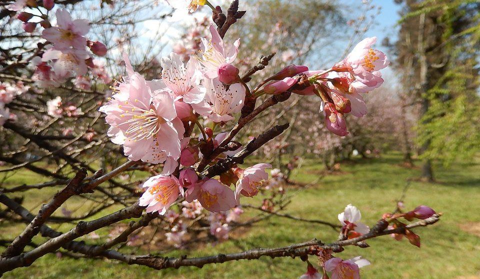 Começou a temporada da floração das cerejeiras no Parque do Carmo