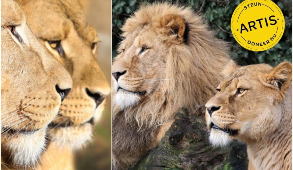 Artis Has To Rehome Its Lions Because Of The Covid-19 Pandemic