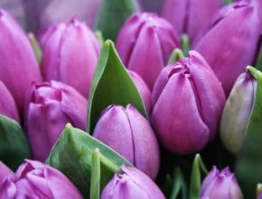 Here's How To Get Your Free Bulbs For Tulip Season In Amsterdam
