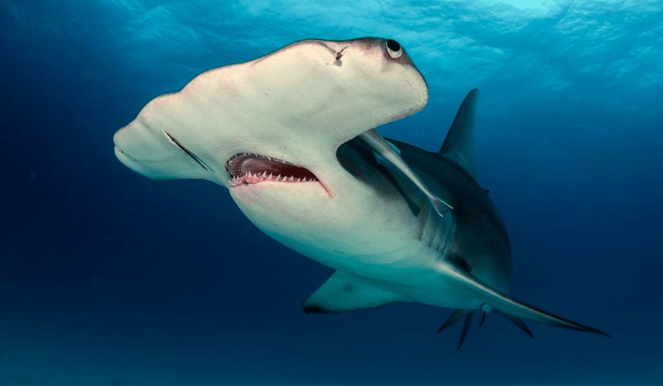 Dive Into A Tank Of Sharks At Georgia Aquarium's Coming Exhibit: Predators Of The Deep