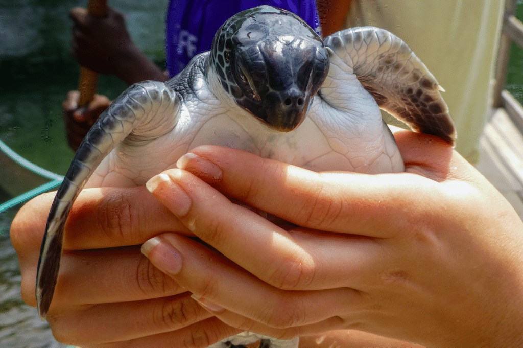 Volunteers Rescue Thousands Of Turtles From Freezing Waters