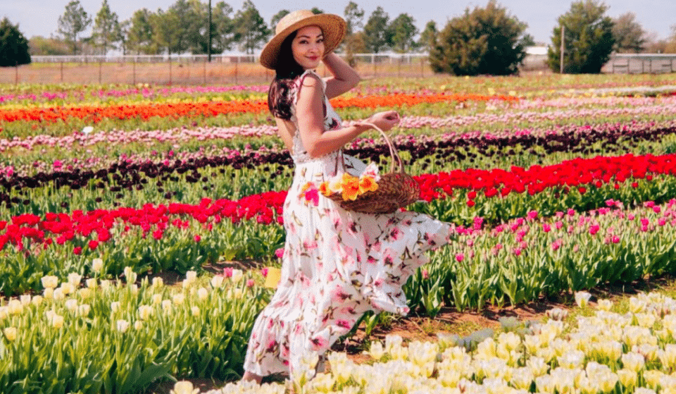 Overflow Your Basket With The Most Dazzling Tulips From This Brilliant Tulip Field In San Antonio