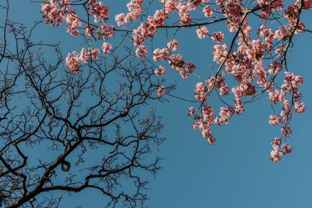 cherry-blossom-birmingham