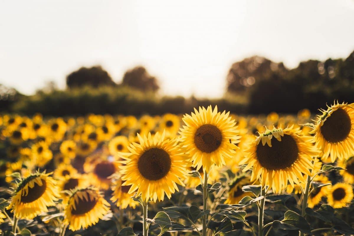 things-to-do-september-sunflower-field
