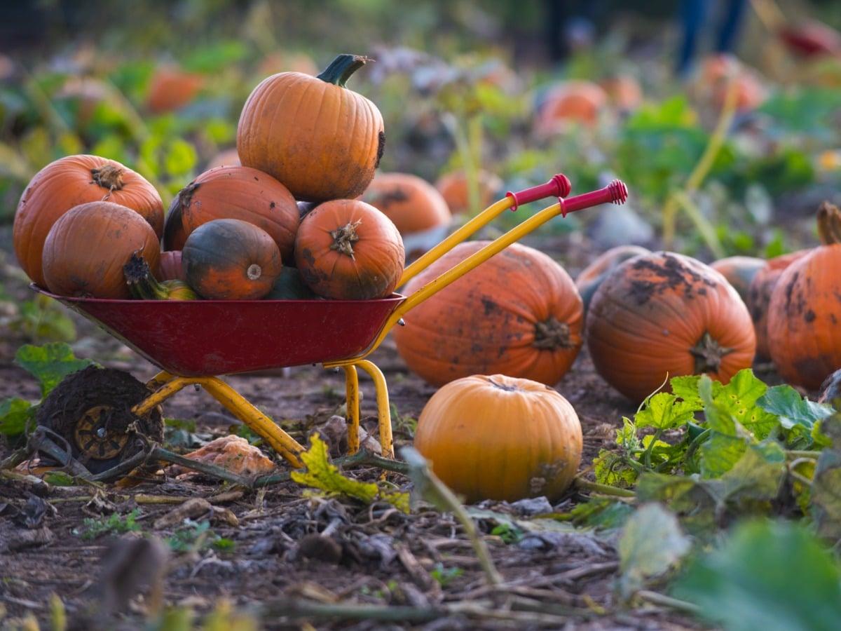 avon valley pumpkin patch