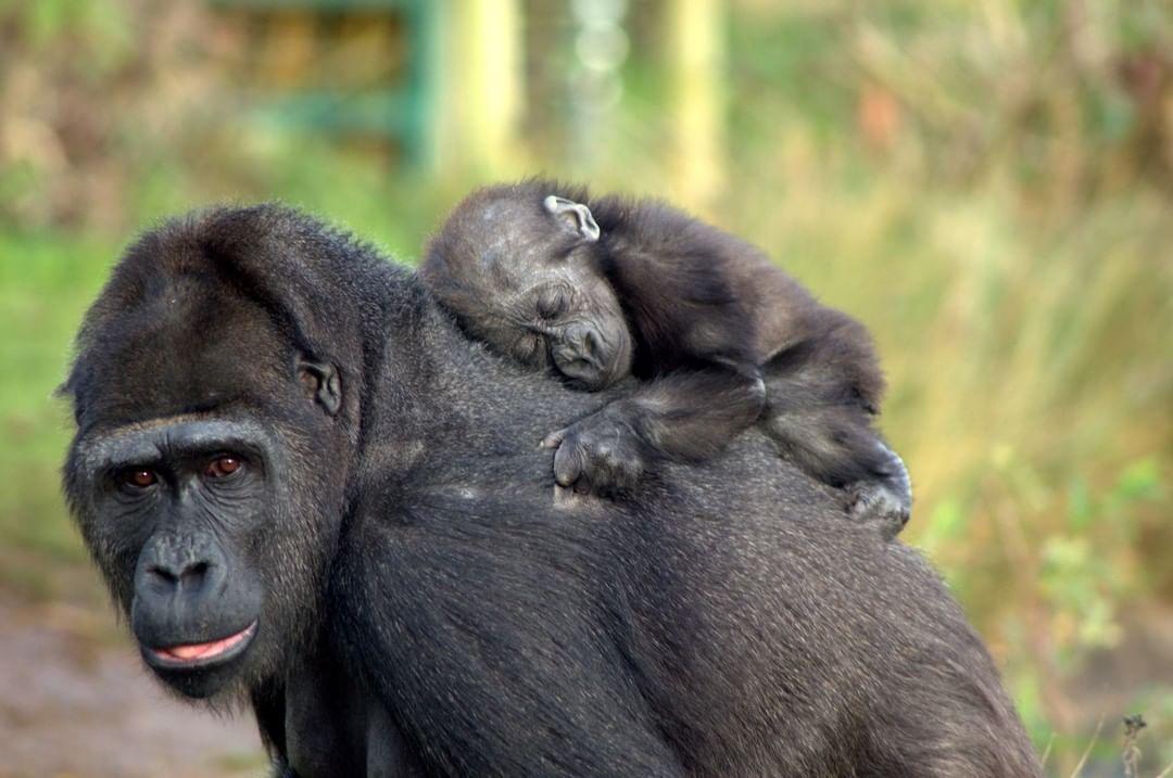bristol zoo gorilla baby