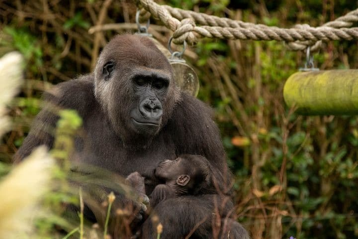 This Baby Gorilla Has Arrived At Bristol Zoo And They Want You To Name It