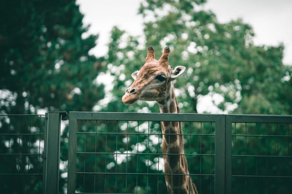 bristol-zoo-close-giraffe