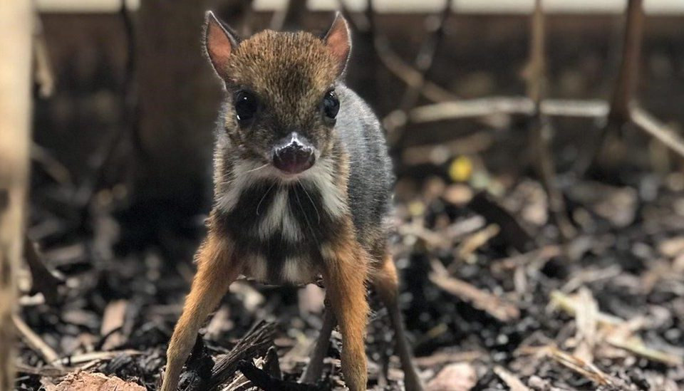 This Tiny Mouse Deer Has Been Born At Bristol Zoo, And It's Only The Height Of A Pencil