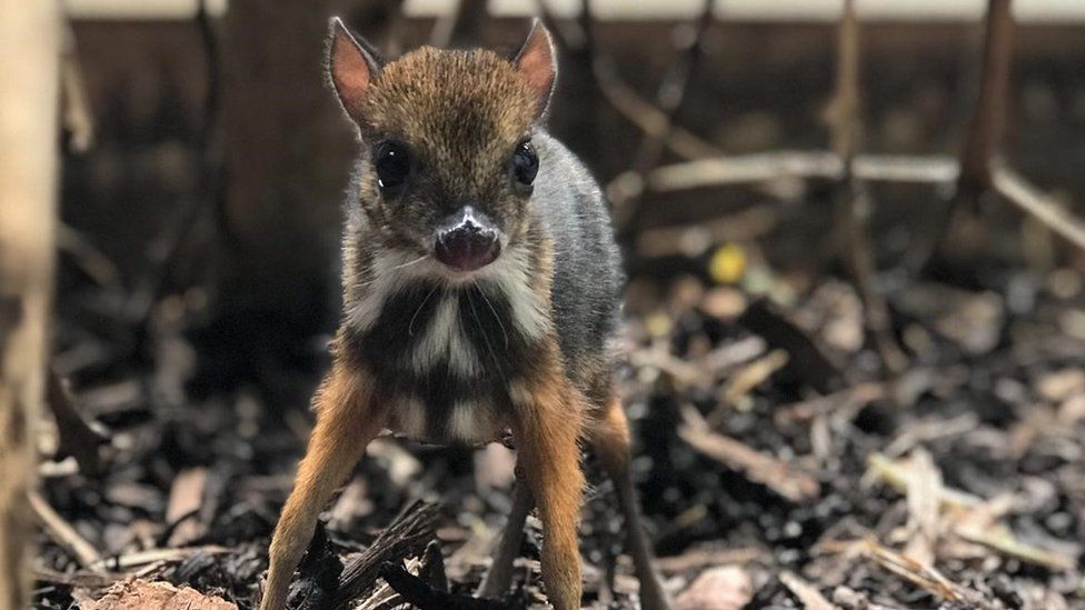 bristol-zoo-gardens-mouse-deer