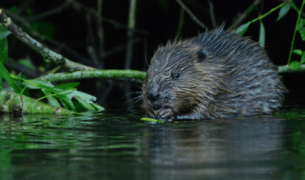 wild-beavers-river-avon-bevis-watts