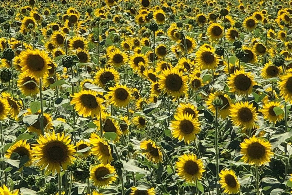 These Stunning Sunflower Fields At Wise Acre Farms Are In Full Bloom This Season