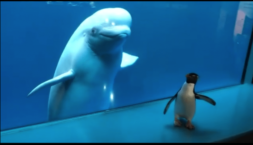 Shedd Aquarium's Penguins Visit The Beluga Whales On Another Adorable Field Trip