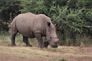 six feet rhino