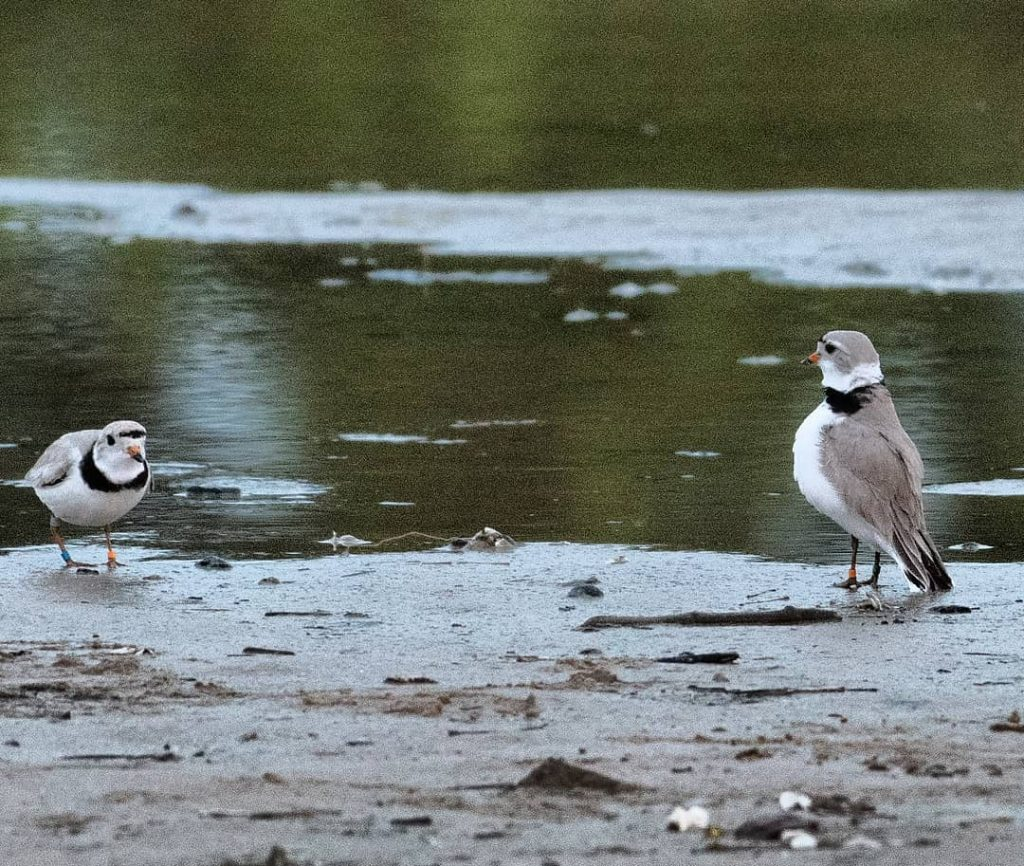 Two Piping Plovers Reunite On Montrose Beach After A Winter Apart In A Modern Day Love Story