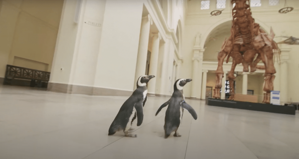 Shedd Aquarium's Penguins Went On A Field Trip To The Field Museum And It Was Too Cute!