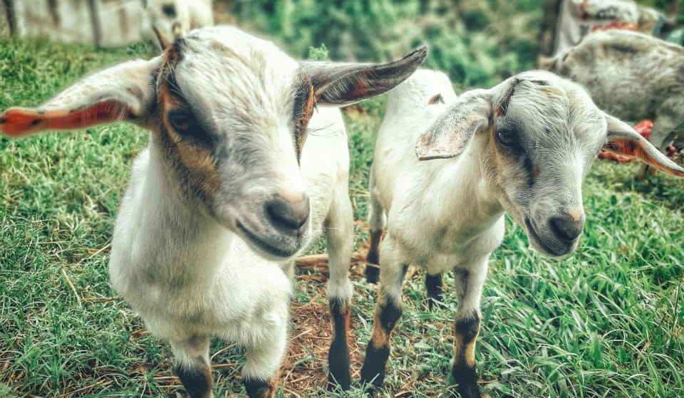 Enjoy A Wholesome Autumnal Afternoon Kicking Back With Playful Goats And Craft Beer Tasting