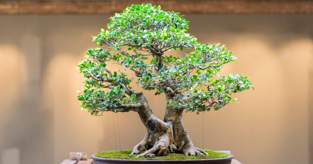 Go Gung Ho For The Bonsai Collection At Chicago Botanic Gardens