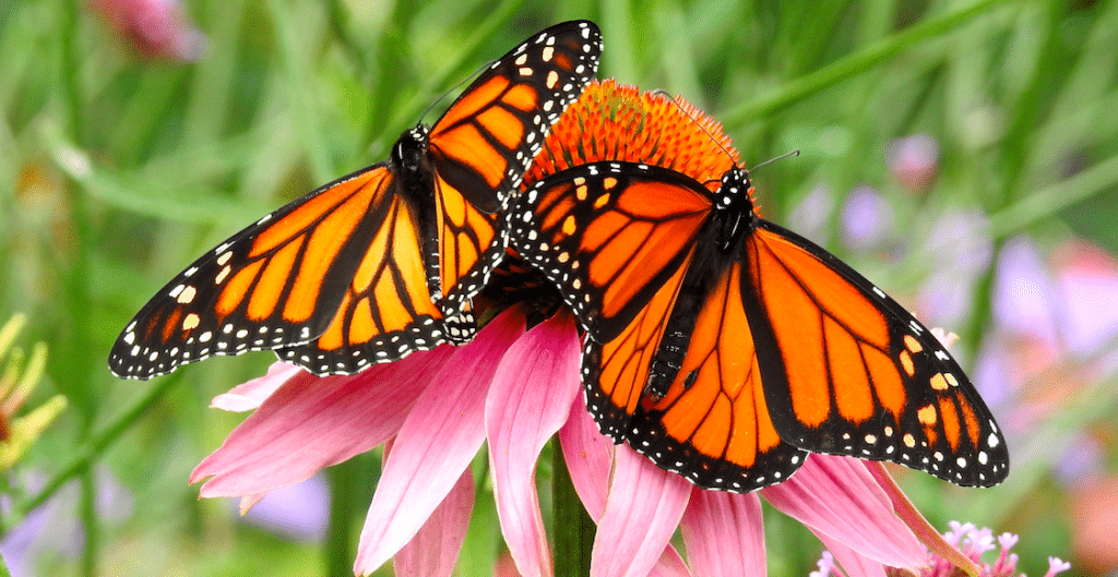Monarch Butterflies Are Flocking To The Gardens At The Shedd Aquarium