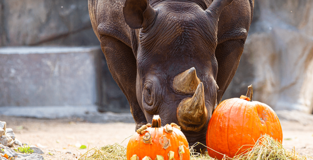 Lift Your Spirits This Halloween Season At Lincoln Park Zoo's Adult-Only Pumpkin Glow Event