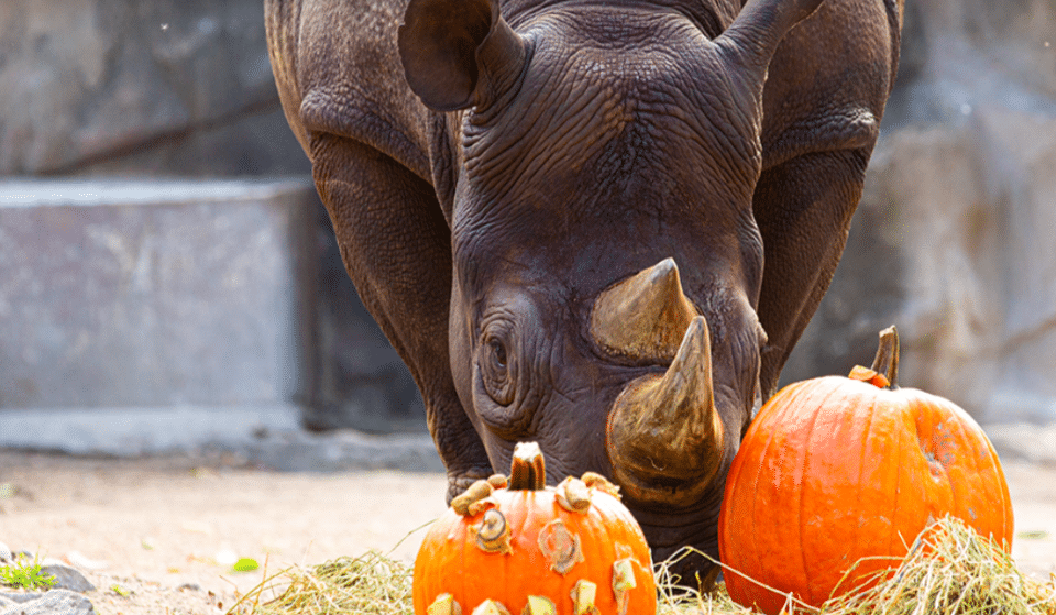 Lincoln Park Zoo's After Hours Adult-Only Great Pumpkin Glow Event Returns On October 28