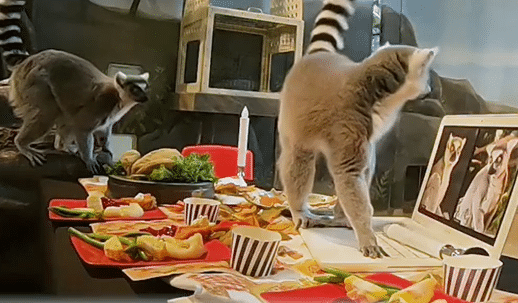 Brookfield Zoo's Lemurs Celebrate Thanksgiving The 2020 Way