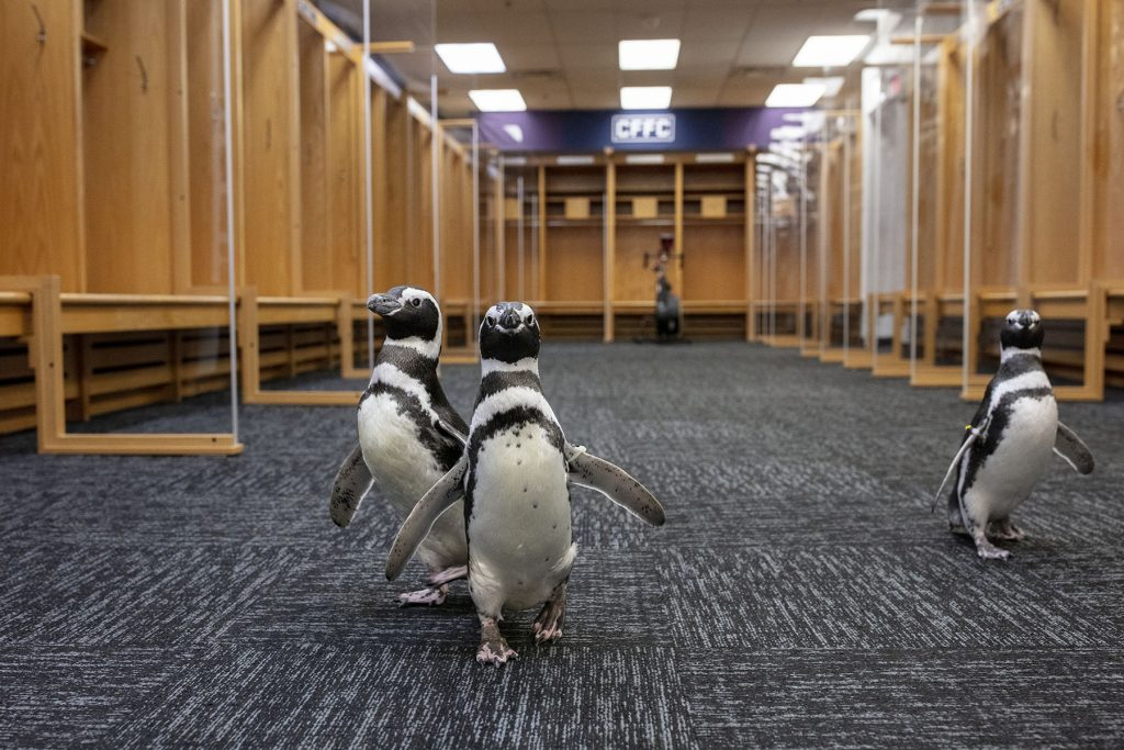 Four Inquisitive Penguins Take A Field Trip To Soldier Field