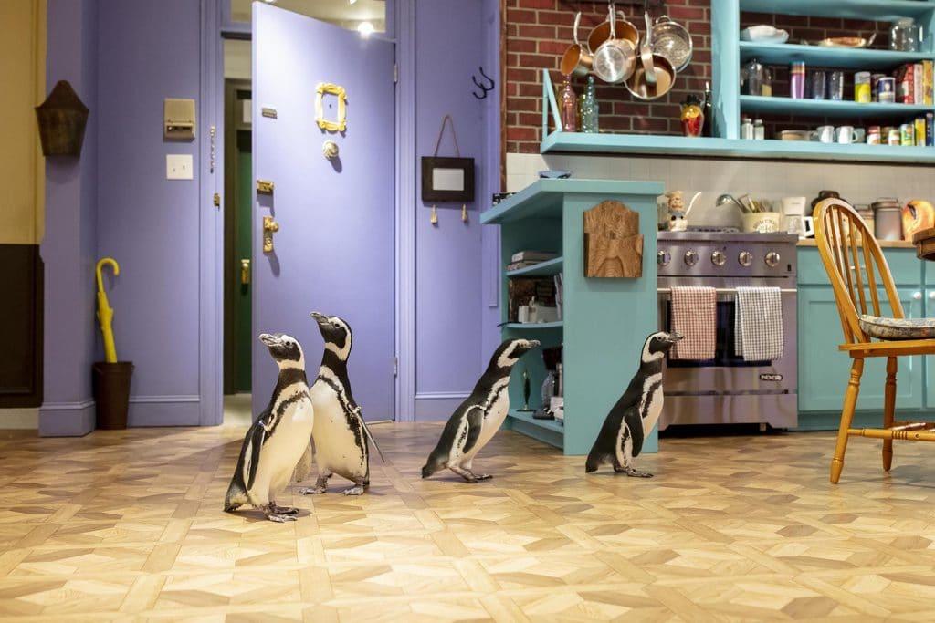 "Shedd Aquarium Penguins Storm The ""FRIENDS™"" Set In Their Latest Field Trip"