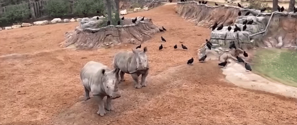 This Texas Zoo Is Allowing Its Rhinos Explore Grounds For The First Time In Its History