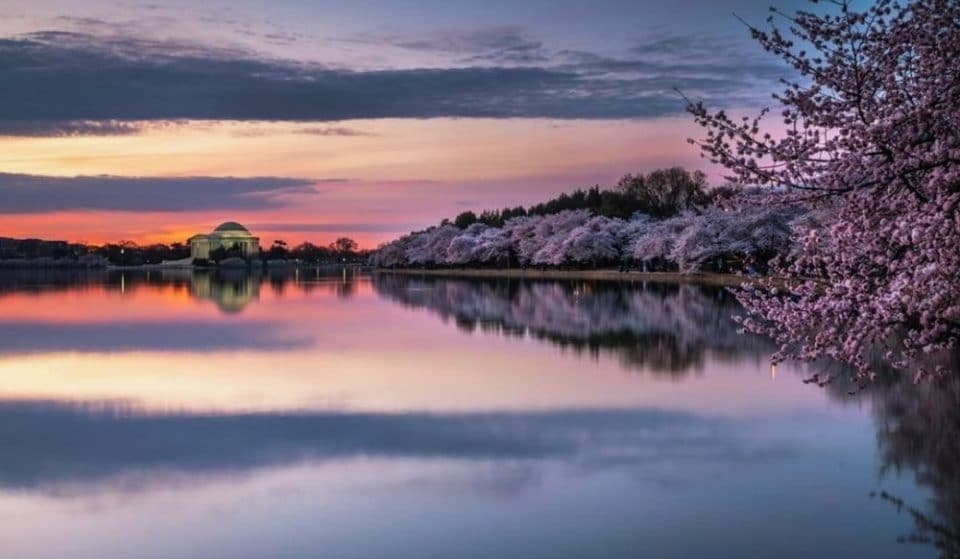 Watch The Beautiful Cherry Blossoms Without Leaving Home With DC's Bloom Cam!