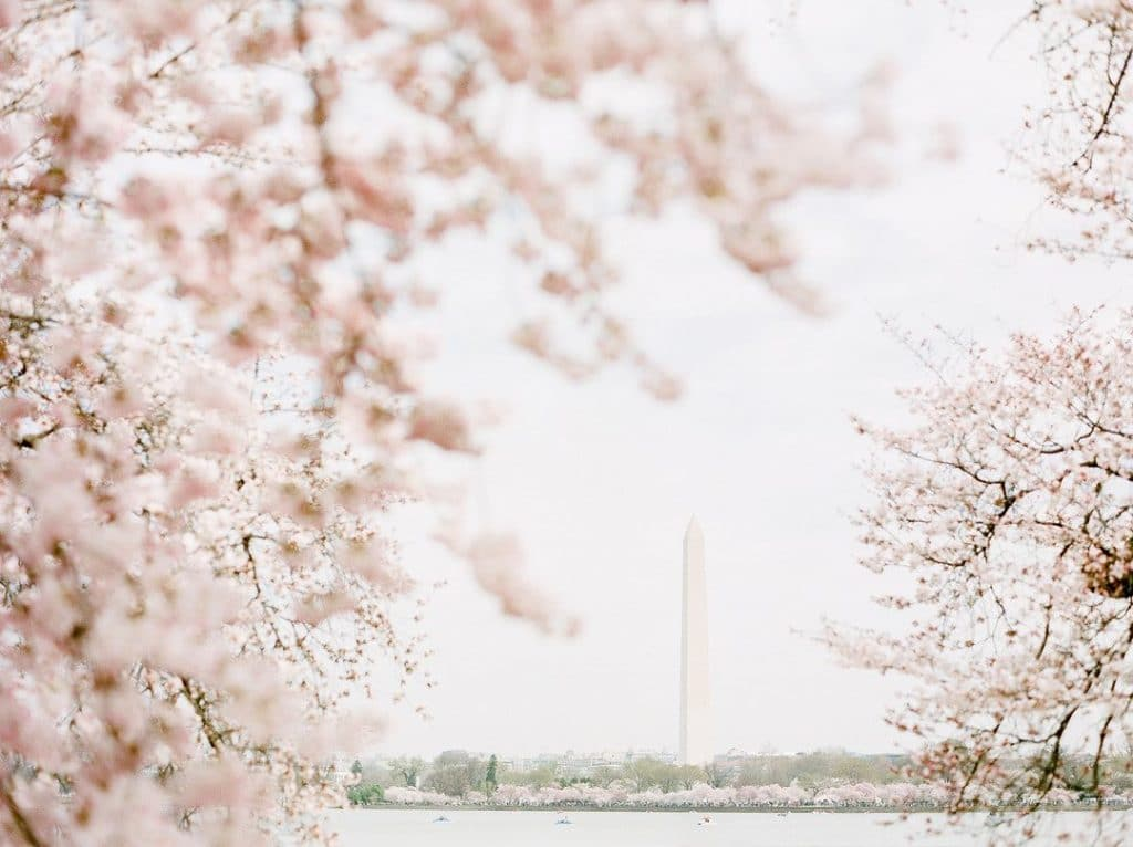 Cherry Blossoms Are Now In Full Bloom Around DC