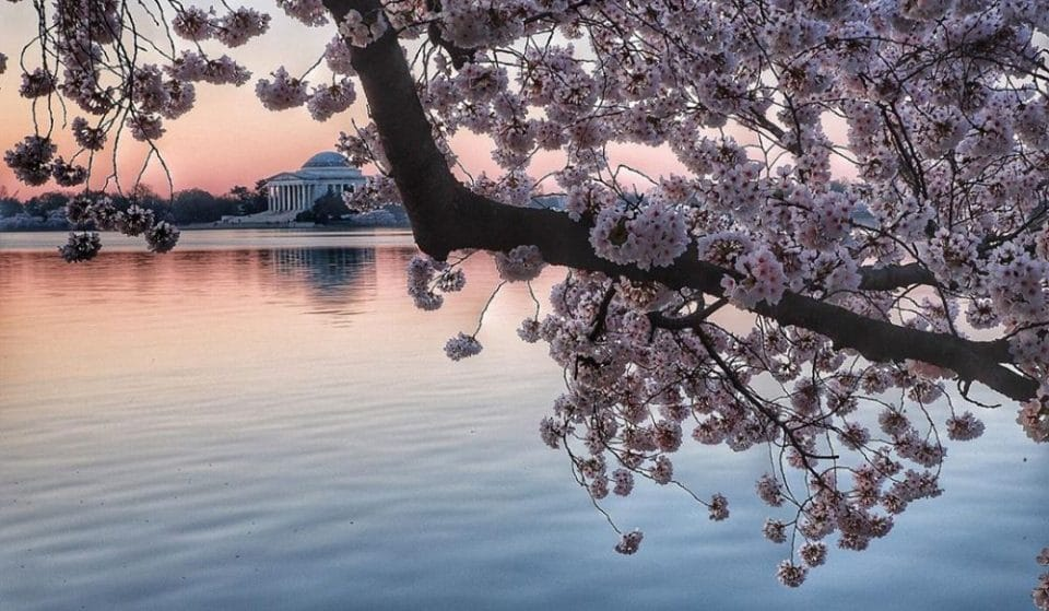 The Cherry Blossoms Will Reach Peak Bloom Earlier Than Predicted