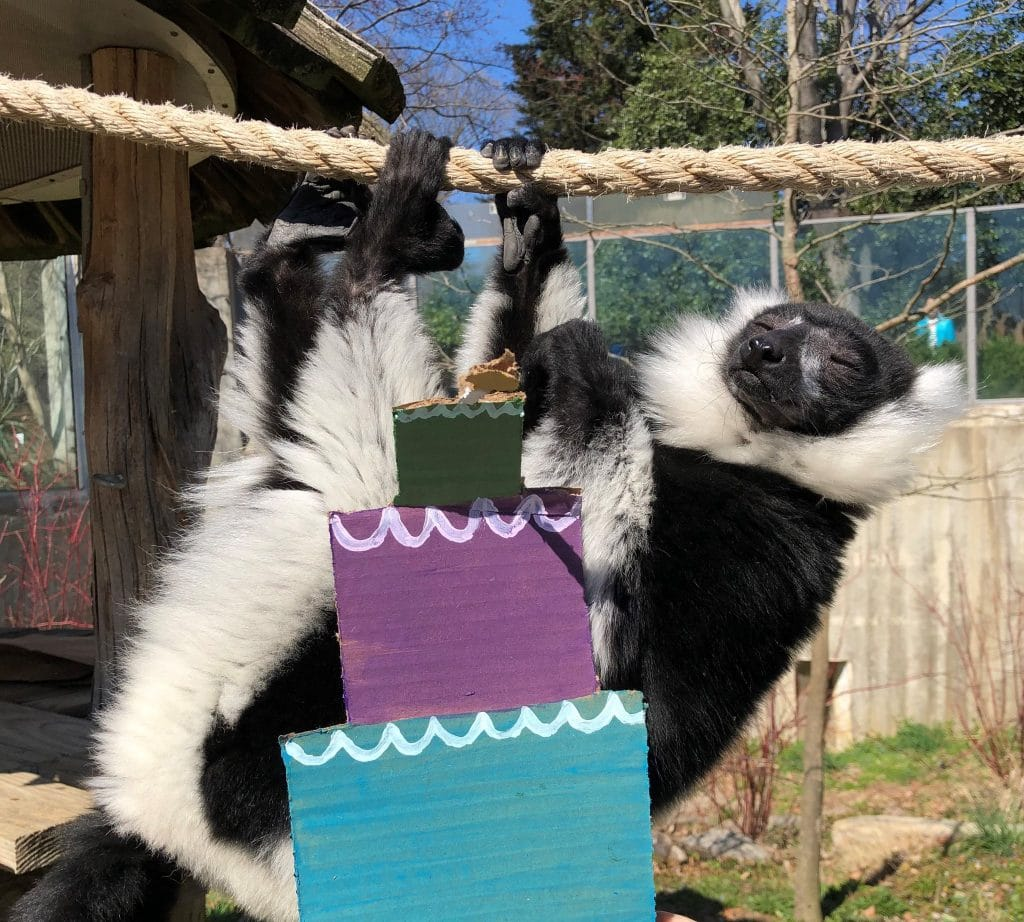 The National Zoo Threw A Birthday Party For It's Lemurs And It's Absolutely Adorable!