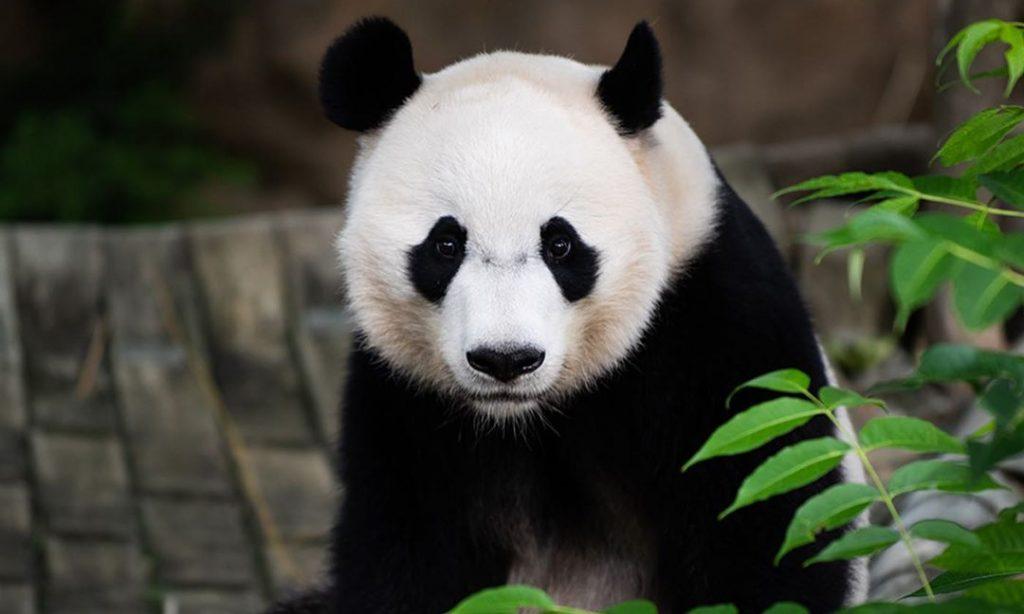 Meix Xiang Baby Panda