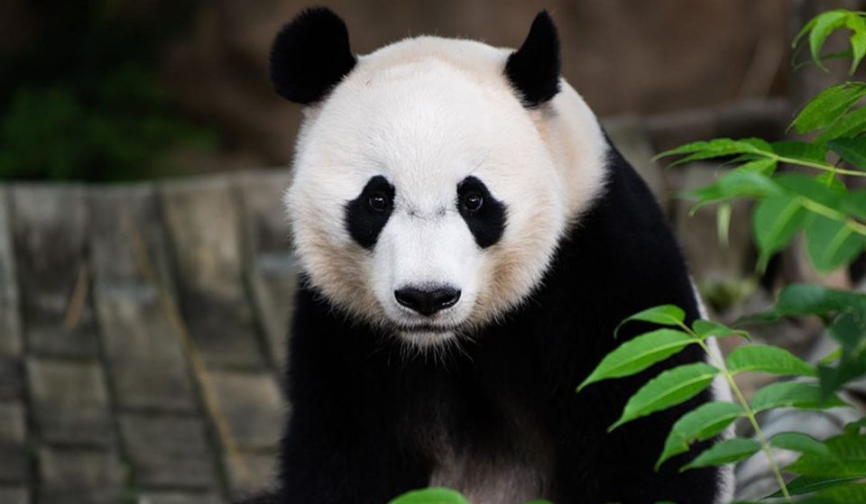 A New Baby Panda Could Be Born Soon At The National Zoo