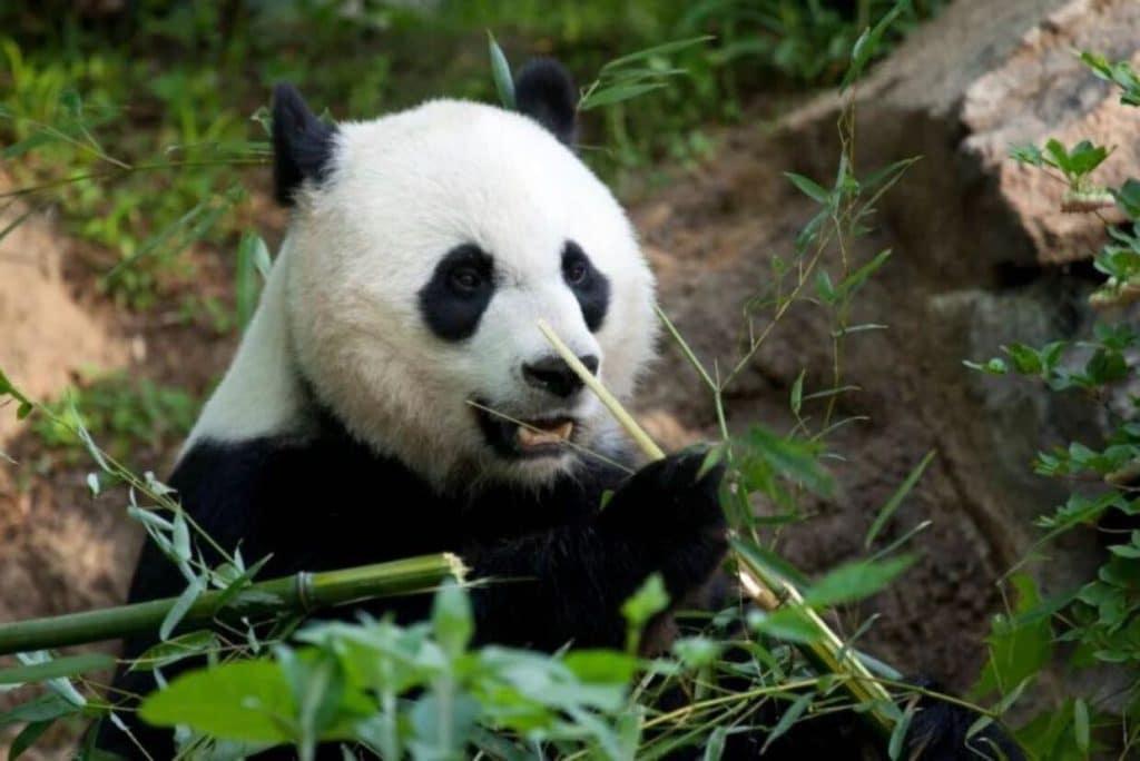 baby panda debuts in smithsonian panda cam