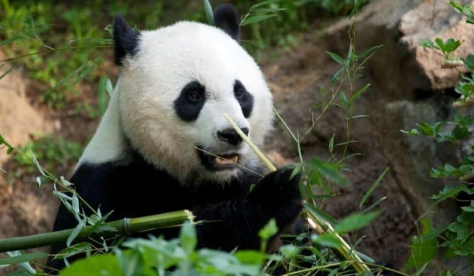 Giant Panda Mei Xiang's Cub Makes Its First Appearance On Camera