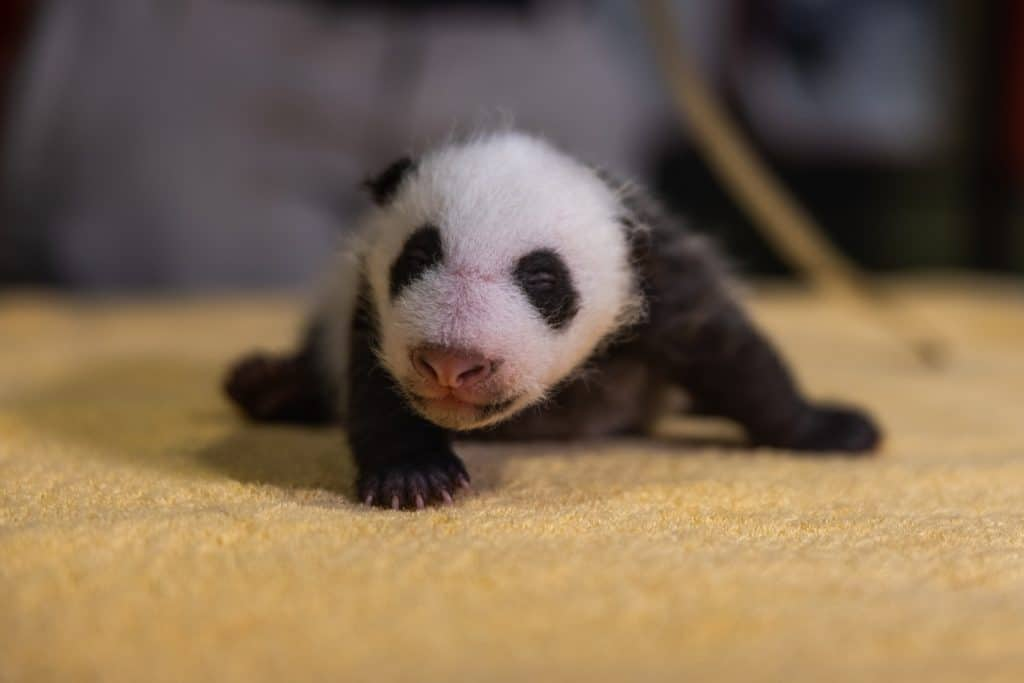 The Smithsonian Zoo Just Revealed Its Baby Panda's Gender In The Cutest Possible Way