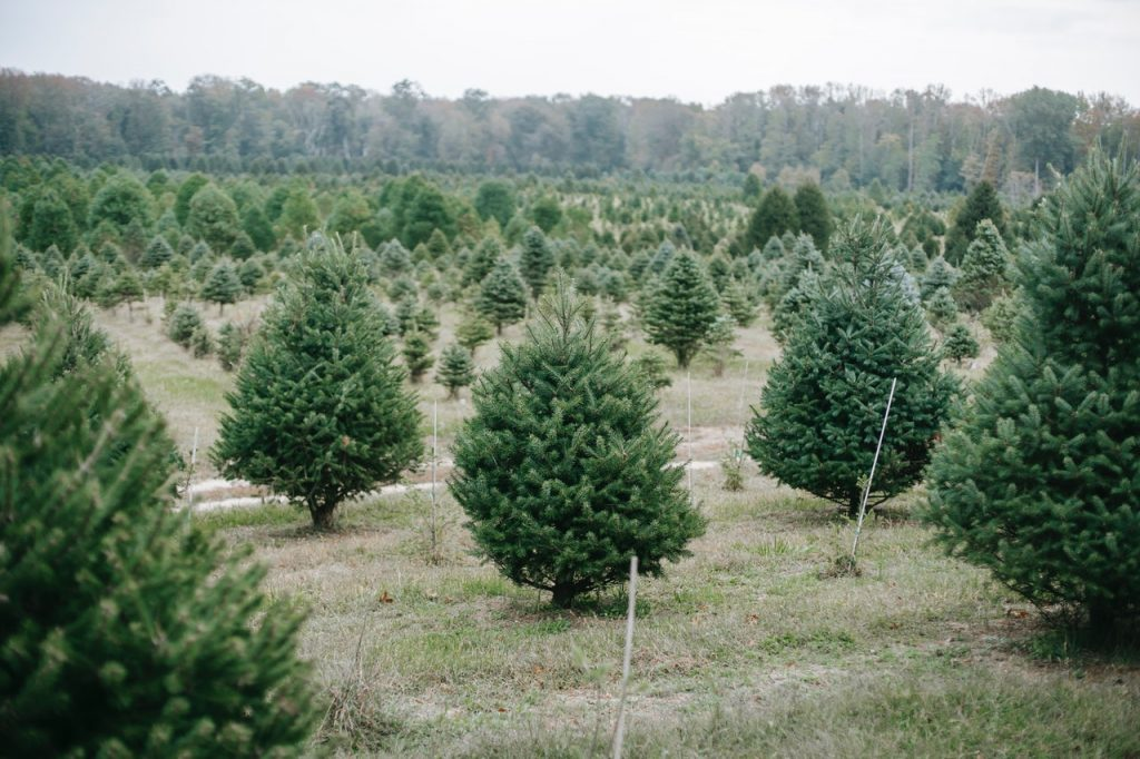 Where to find Christmas Trees DC