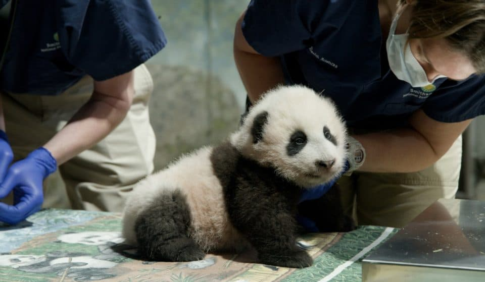National Zoo Announces Name Of New Panda Cub