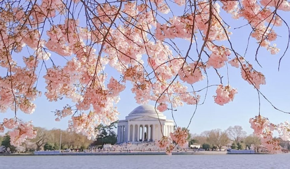 The Beautiful Spring Cherry Blossoms Will Likely Reach Peak Bloom Early In April