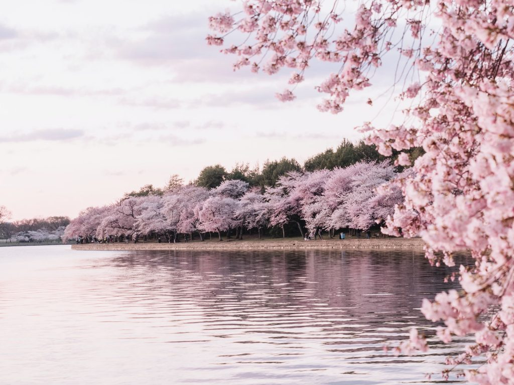 The Beautiful Cherry Blossoms Have Now Reached Peak Bloom Secret Dc