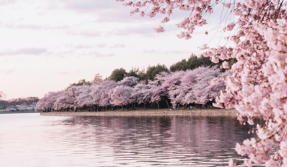 The Beautiful Cherry Blossoms Have Now Reached Peak Bloom