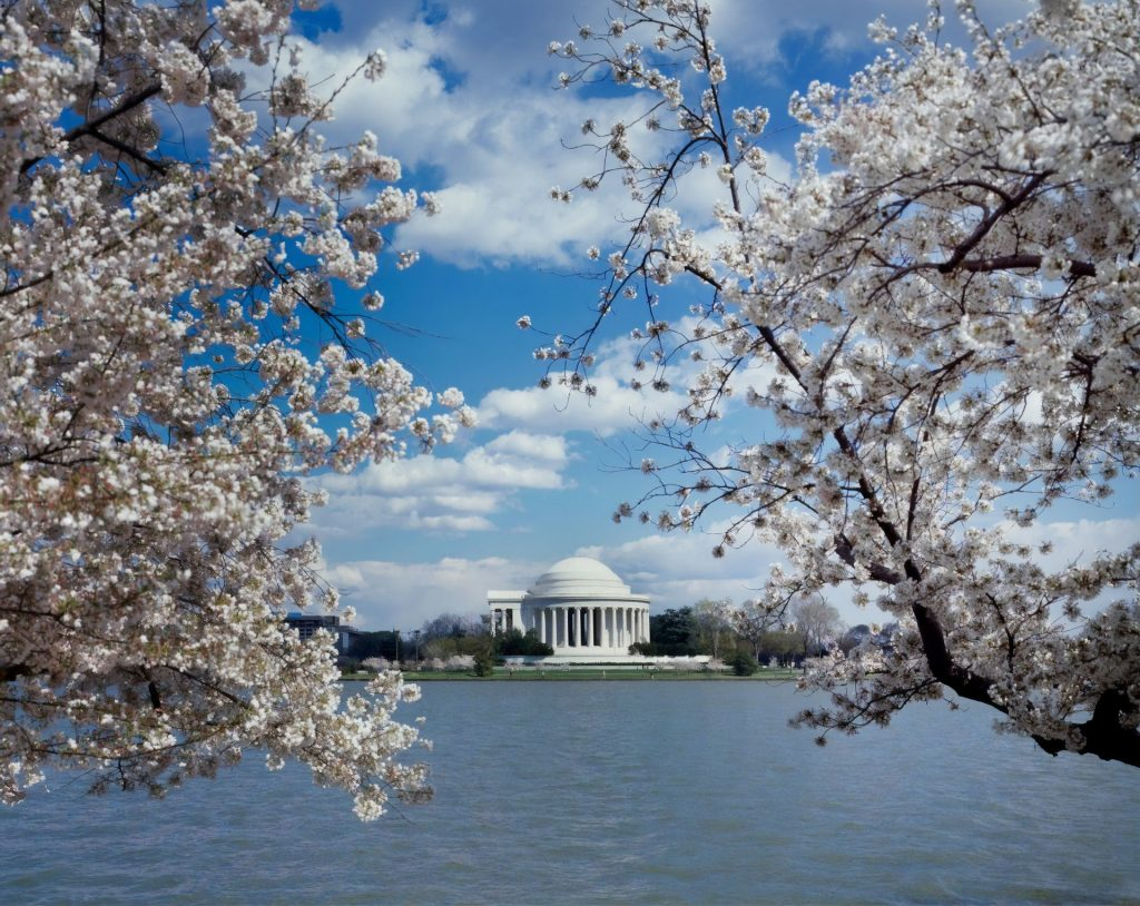 DC's Cherry Blossoms Are Now Halfway Through Their Blooming Process!