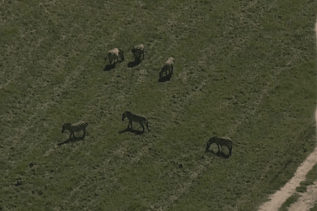 Escaped Zebras Spotted Roaming In Prince George's County