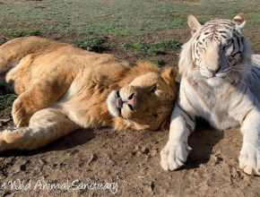 Visit The Wild Animal Sanctuary To Meet Over 160 Big Cats & Carnivores Here in Colorado
